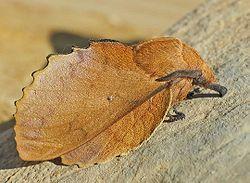 250px-Gastropacha_quercifolia01