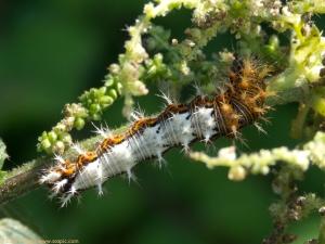 Comma larva, Polygonia c-album P1160532