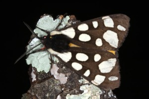Epicallia villica - Nimes 06062013_3