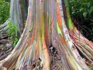 Eucalyptus-arc-en-ciel