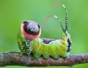 Flickr_-_Lukjonis_-_Moth_Caterpillar_-_Cerura_vinula