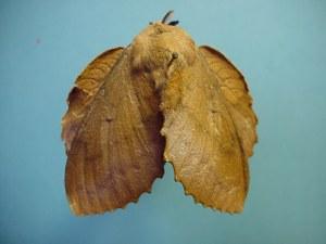 Gastropacha quercifolia 3