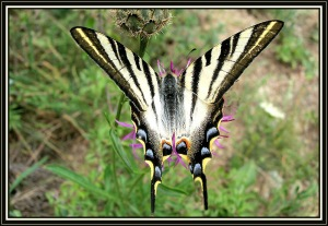 iphiclides_feisthamelii-lps