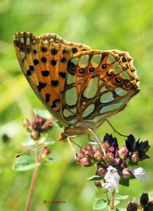 issoria-lathonia-playras-07-08-2010-c