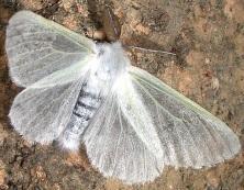 Leucoma-salicis-male-06
