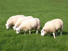 moutons-tondeuse-preview-7766047