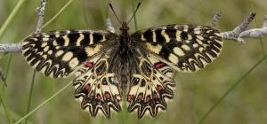Zerynthia_polyxena_-_Nature_Conservation-001-073-g006