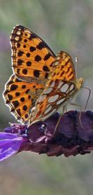 papill-Flore