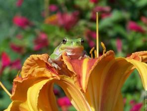 grenouille-sur-fleur