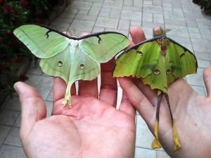 papillon main