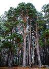 290px-Pinus_sylvestris_Nethybridge