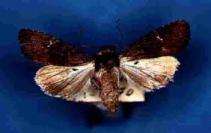Aporophyla nigra