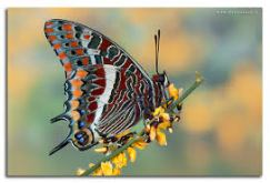 belle Charaxes jasius