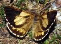 Bupalus-piniaria-09