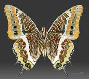 Charaxes jasius couleurs