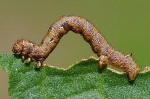 Colotois pennaria