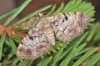 Eupithecia_abietaria
