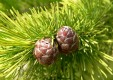 european_larch_(larix_decidua)