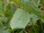 Gonepteryx rhamni2