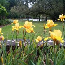 iris-jaune-amb
