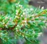 Juniperus_communis_Repanda_02