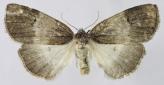 Ochropacha duplaris5