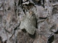 Ochropacha duplaris7