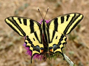 Papilio alexanor photo