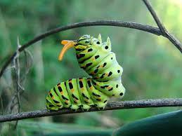 Papilio machaon3