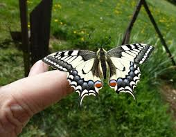 Papilio machaon4