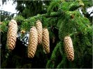 picea_abies