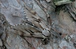 Pine-Hawkmoth-Hyloicus-pinastri_RST0135761-659x427