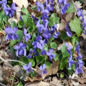 plante Viola odorata-Violette odorante