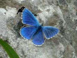 Polyommatus bellargus3