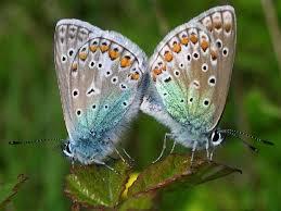 Polyommatus icarus vert:bleu