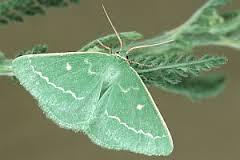 Thetidia smaragdaria