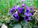 Violette odorante Viola odorata