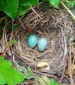 un-nid-de-merle-contenant-deux-oeufs-credits-lokilech-wikipedia_47897_w300